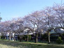 Sakura2_003