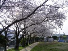 Sakura2_008