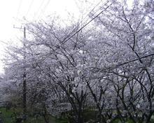 Sakura2_011