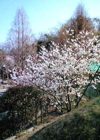 Sakura2_6